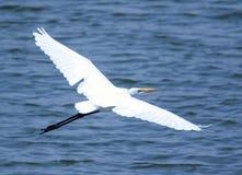 stor egret Arkivbilder