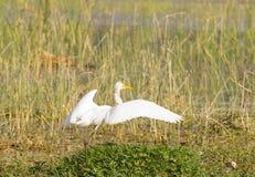 stor egret fotografering för bildbyråer