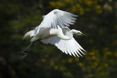 stor egret Royaltyfri Fotografi
