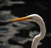 Stor egret (den alba ardeaen) Royaltyfri Fotografi