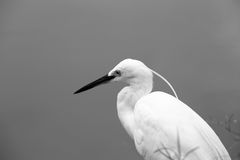 Stor Egret i grunt vatten Royaltyfri Bild