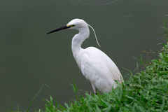 Stor Egret i grunt vatten Arkivfoto