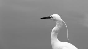 Stor Egret i grunt vatten Arkivbild