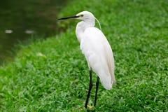 Stor Egret i grunt vatten Arkivbilder