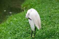 Stor Egret i grunt vatten Royaltyfri Fotografi