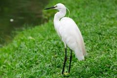 Stor Egret i grunt vatten Royaltyfria Foton