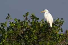 Stor Egretfågel Arkivfoton
