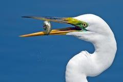 stor egretfisk Arkivbilder