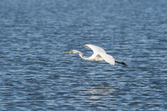 stor egretfisk Fotografering för Bildbyråer