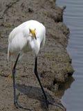 stor egretfisk Royaltyfria Foton