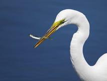 stor egretfisk Arkivfoto