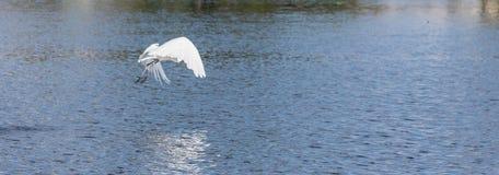 stor egretfisk Royaltyfri Foto