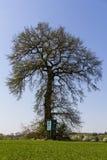 Stor ek i ett grönt fält med den främsta lilla höga platsen Arkivfoto