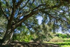 Stor ek som ger skugga, Santa Teresa County Park, San Jose, Kalifornien fotografering för bildbyråer