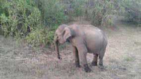 stor elefant arkivbilder