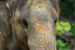 stor elefant Fotografering för Bildbyråer
