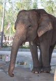 stor elefant Royaltyfria Foton