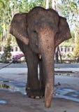 stor elefant Royaltyfri Fotografi