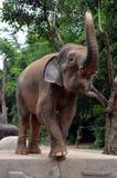 stor elefant Royaltyfri Foto