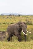 Stor elefant i busken mara masai Arkivbilder