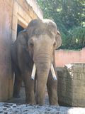 Stor elefant på zoo Arkivbild