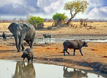 Stor elefant som går bak buffel på en waterhole i den Hwange nationalparken, Zimbabwe, sydliga Afrika Arkivfoton