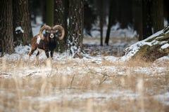 Stor europeisk moufflon i skogen Arkivfoton