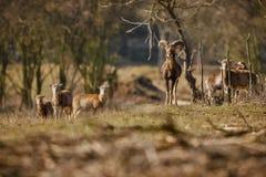 Stor europeisk moufflon i skogen Fotografering för Bildbyråer