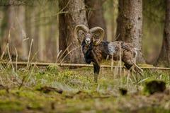 Stor europeisk moufflon i skogen Arkivbild