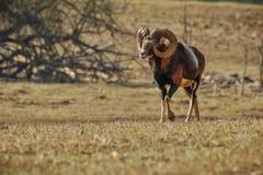 Stor europeisk moufflon i skogen Arkivbilder