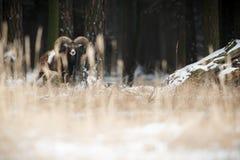 Stor europeisk moufflon i skogen Arkivfoto