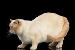 Stor färg-punkt brittiska Shorthair Cat Standing Isolated Black Background Royaltyfri Bild