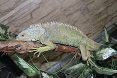 Stor färgrik kameleont Royaltyfria Foton
