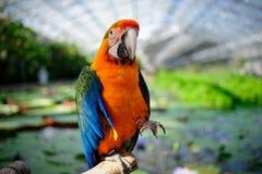 stor färgrik papegoja Royaltyfria Bilder
