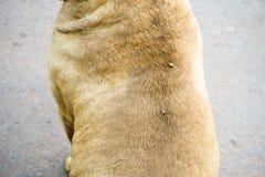 Stor fästing på en hund i röjning och att suga blodet av hundkapplöpning och inse Arkivfoton