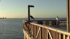 Stor fågel för blå häger som sitter på den Fort Myers stranden som fiskar pir på skymning lager videofilmer