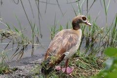 Stor fågel i Etiopien Royaltyfri Bild