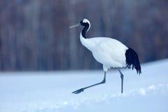 Stor fågel i snö Röd-krönad kran, Grusjaponensis, vit fågel med snö, vinterplats, Hokkaido, Japan Djurliv från Asien bifokal arkivfoto