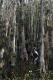 Stor fågel mellan träden, Everglades, Florida USA Arkivbilder