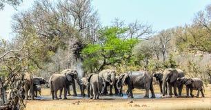 Stor föda upp flock av elefanter på ett vattenhål i den Kruger nationalparken, Afrika royaltyfri foto