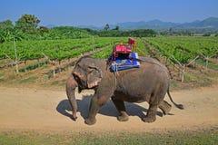 Stor försiktig elefant i en tropisk vingård i Thailand