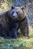 Stor farlig björn Arkivfoto
