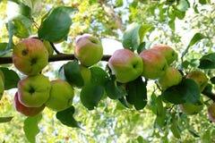 Stor filial av äppleträdet med många gröna äpplen Royaltyfria Foton