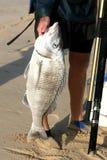 stor fisk Royaltyfri Fotografi