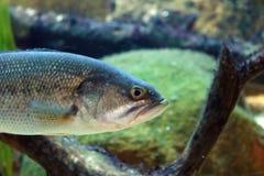 Stor fisk i akvarium alt-varelse på för havet, hav Royaltyfri Foto