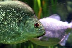 Stor fisk i akvarium alt-varelse på för havet, hav Arkivfoton