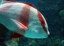 Stor fisk i akvarium alt-varelse på för havet, hav Royaltyfria Bilder