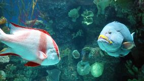 Stor fisk i akvarium alt-varelse på för havet, hav Arkivfoto