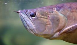 Stor fisk i akvarium alt-varelse på för havet, hav Arkivbild