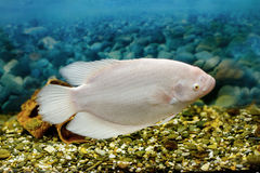 Stor fisk i akvariumgouramifisket Royaltyfri Foto